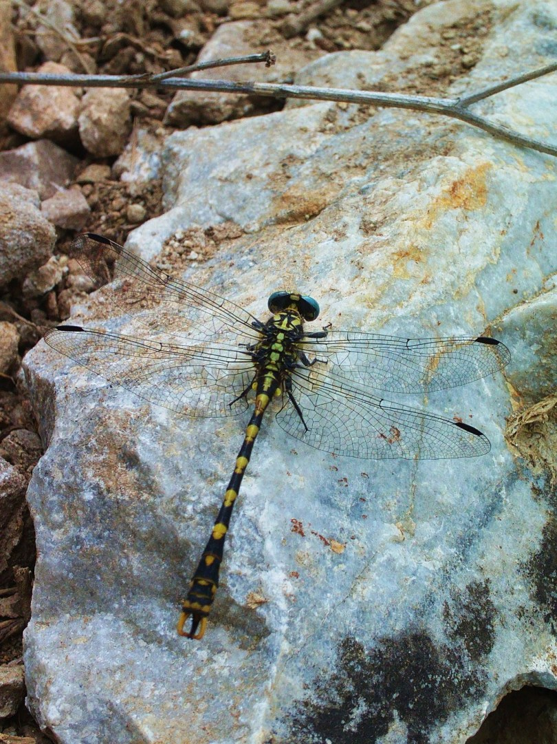 Dragonfly on Rock