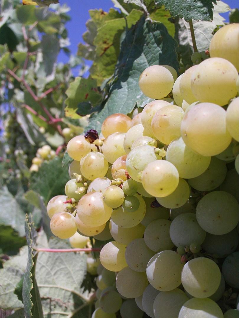 Moscatel Grapevine