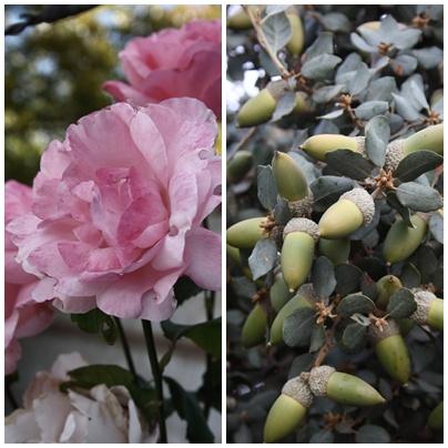 Roses & Acorns