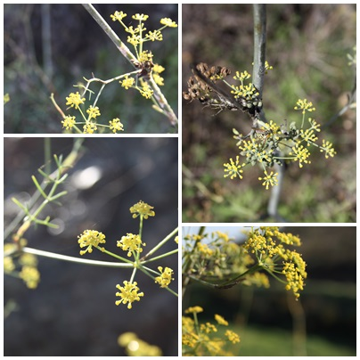 Wild Fennel Flowers